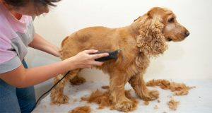 7 Best Dog Clippers for Goldendoodles & Labradoodles for a Hassle-Free Grooming